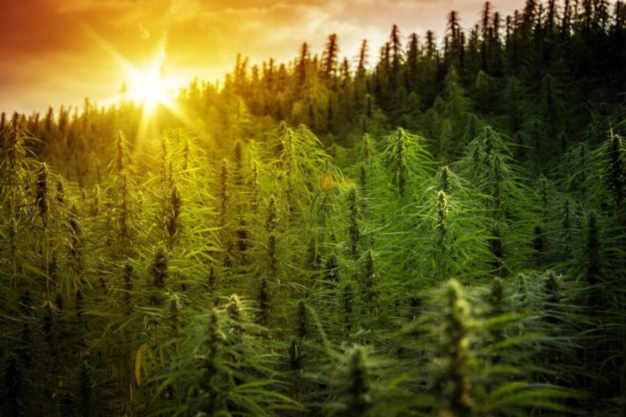 hemp fields