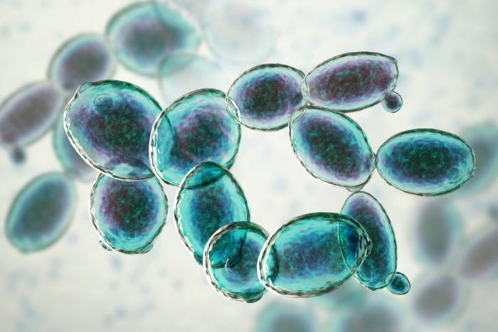 microscopic yeast