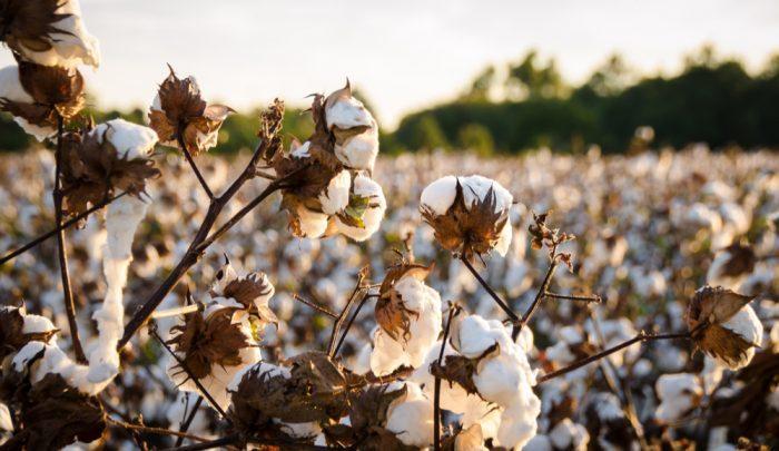 cannabis, hemp, legalization, prohibition, Levi jeans, sustainability, environmentally friendly, hemp fabrics, hemp fibre, textiles, cotton