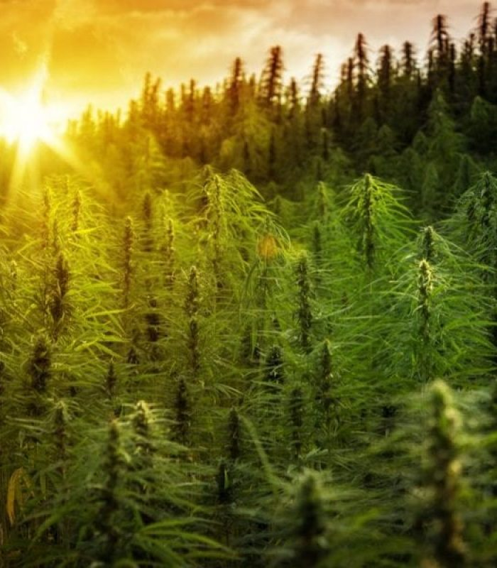 Phytoremediation: Can Hemp Clean Up Our Mess?