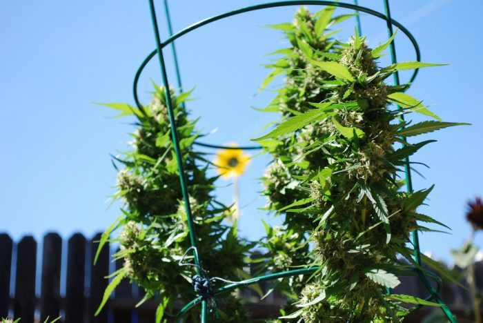 what is RSO represented by cannabis plants in trellises