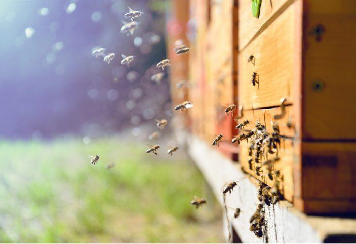 bees, honey, cannabis-infused honey, hemp, hemp benefits, honey bees, CBD, cannabinoids, beehives, pest management, hemp uses