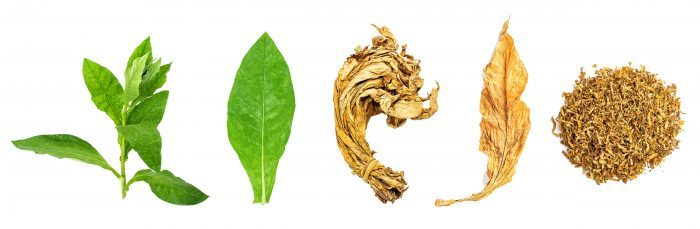 life cycle of tobacco