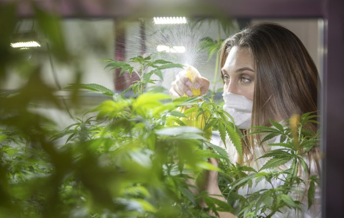 spider mites, pests, pesticides, cannabis, cannabis plants, outdoor grows, grow ops