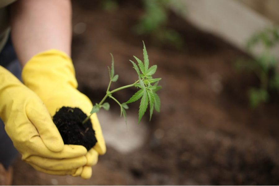 AI, cannabis, employment, hemp, hemp farmers, farm bill, legalization, USA, cash crop, farmers, American farmers, hemp industry, hemp jobs, cannabis industry