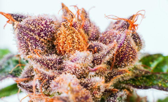 cannabis, cannabis plant, trellis, scrog method, defoliation, home grow, medical cannabis, legalization, nugs, colas, trimming, low-stress training, LST