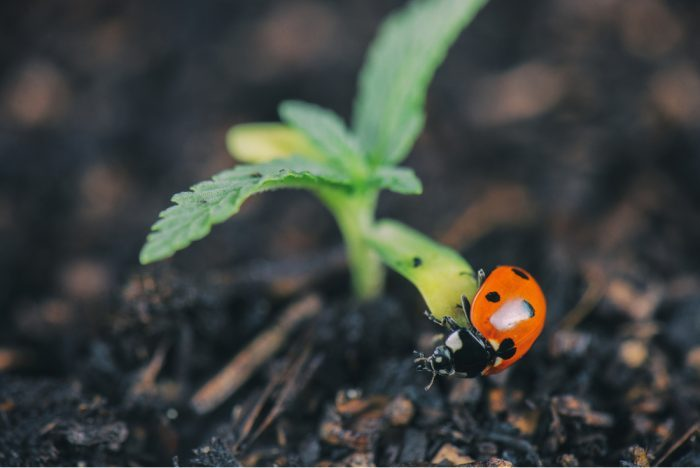 spider mites, pests, pesticides, cannabis, cannabis plants, outdoor grows, grow ops, ladybugs