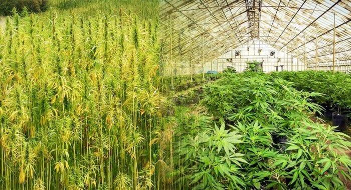 hemp versus marijuana