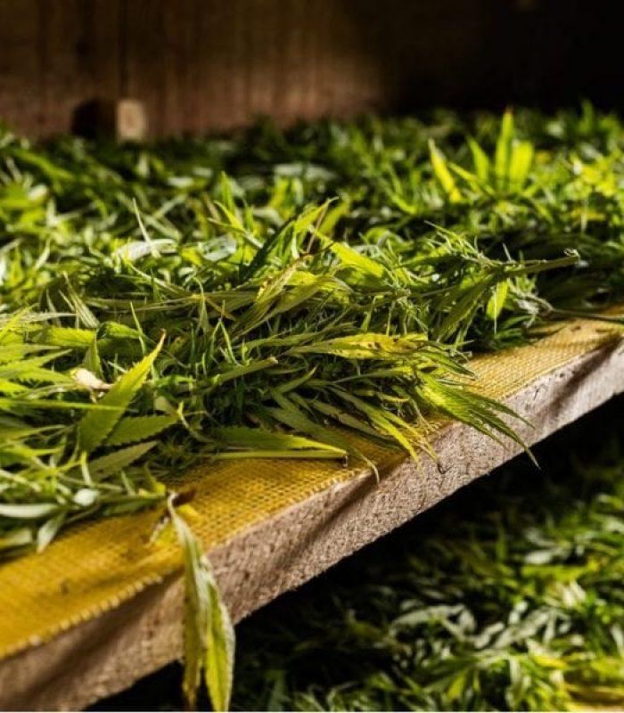 Cannabis Waste Disposal: A Heavily Regulated Headache