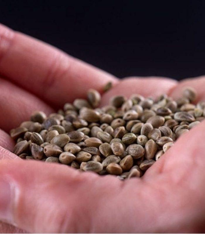 3 Reasons Feminized Seeds are Better than AutoFlower