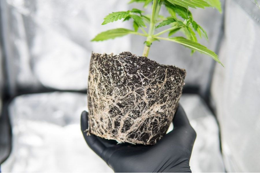 The Ancient Medicine of Friedelin in Cannabis Root