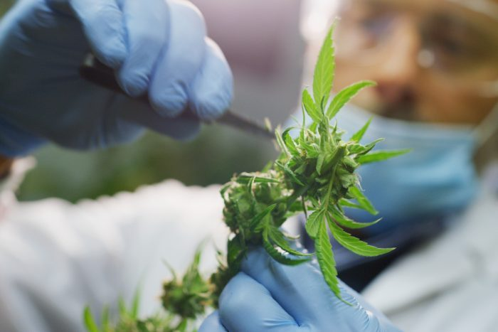person trimming cannabis buds