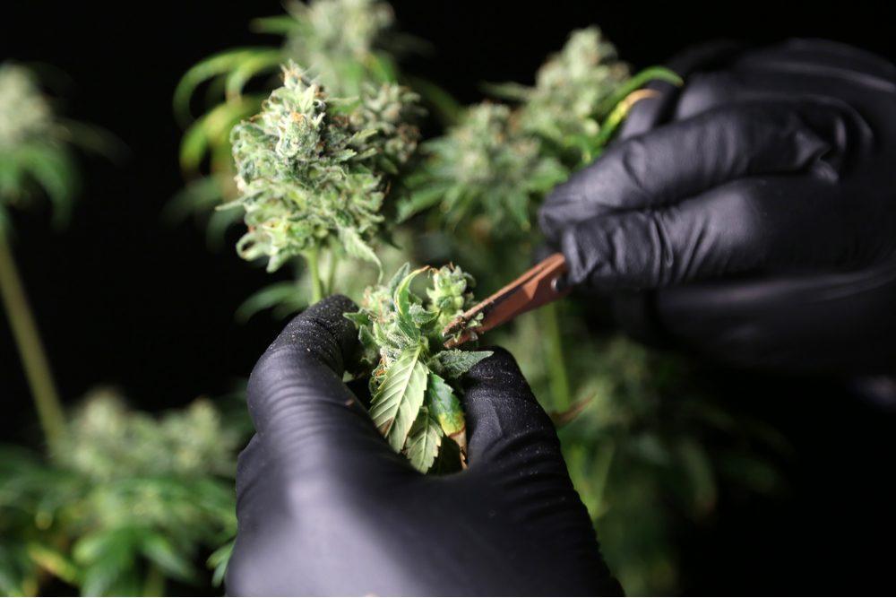 cannabis career