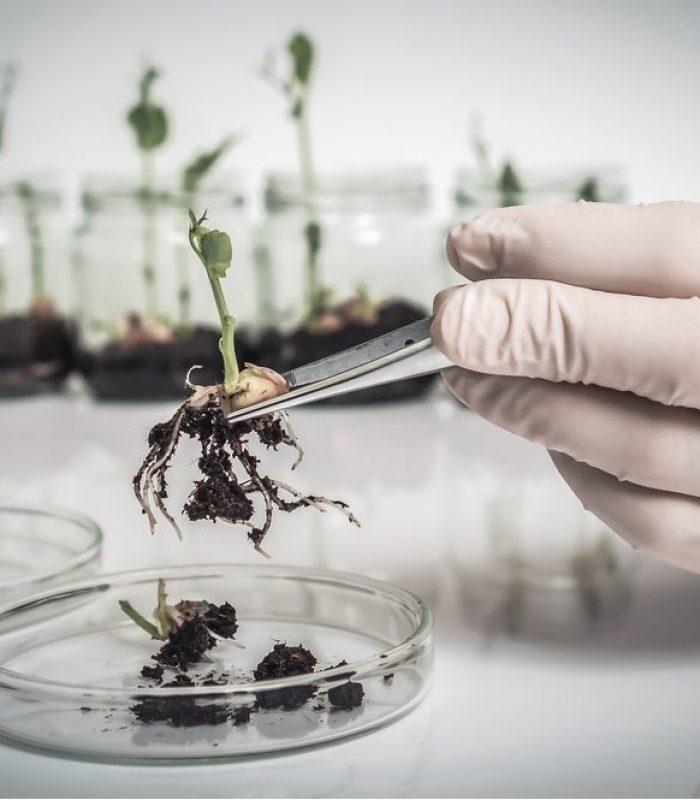 GMO Cannabis Makes Water-Soluble Cannabinoids