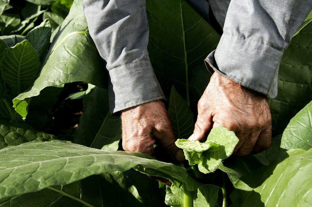 farm worker with tobacco