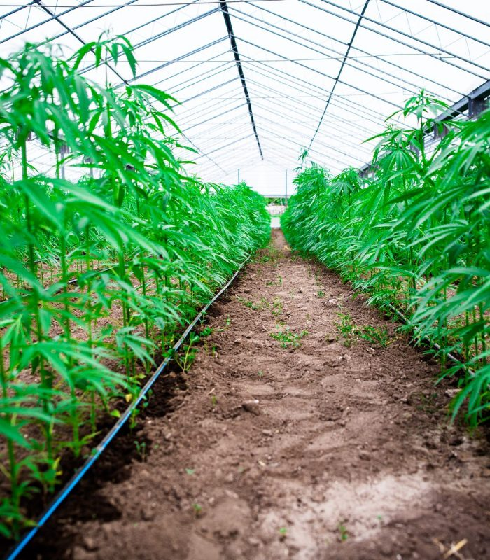 Is Cannabis Cultivation Harming The Environment?