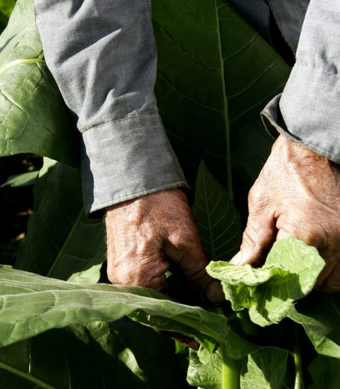 Combining Tobacco and THC May Increase Potency