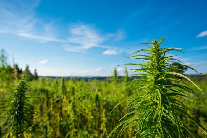 "field of cannabis ""miracle medicine"""