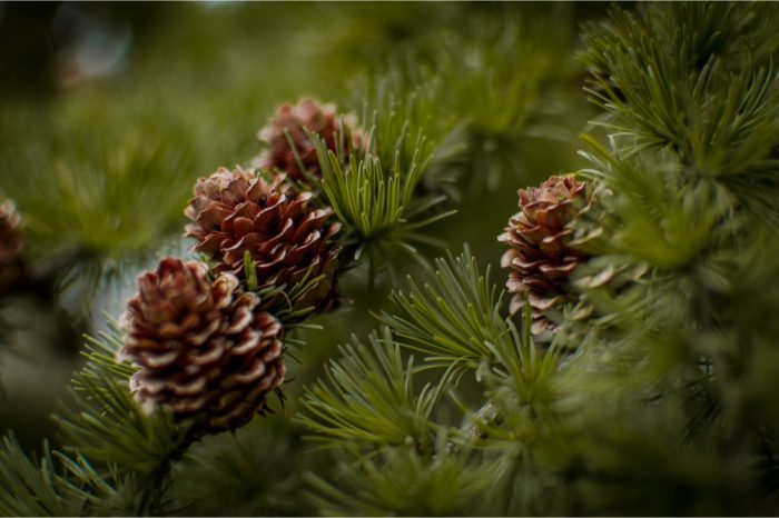 pine boughs with pinecones