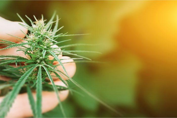 hand holding cannabis plant