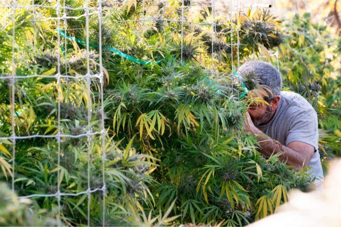 gardener at work on cannabis clones