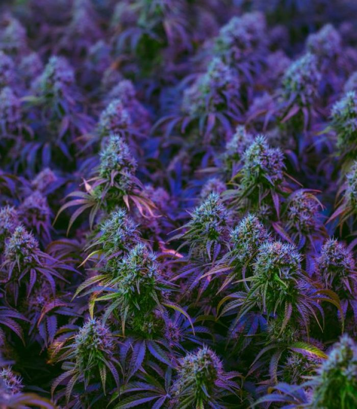 How To Make Cannabis Clones 101