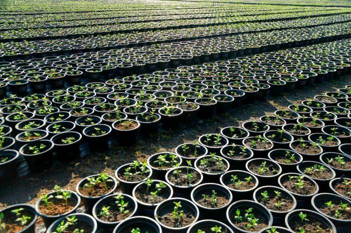 row upon row of plant clones