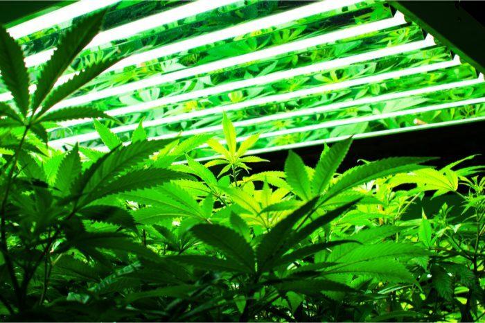 cannabis growing under grow lights