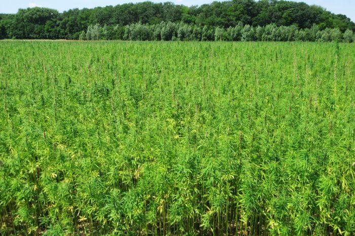 no-till cannabis in field