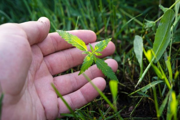 cannabis deficiencies in leaf growth held up by grower