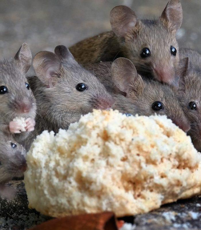 What Happens When A Mouse Eats Potent Edibles?