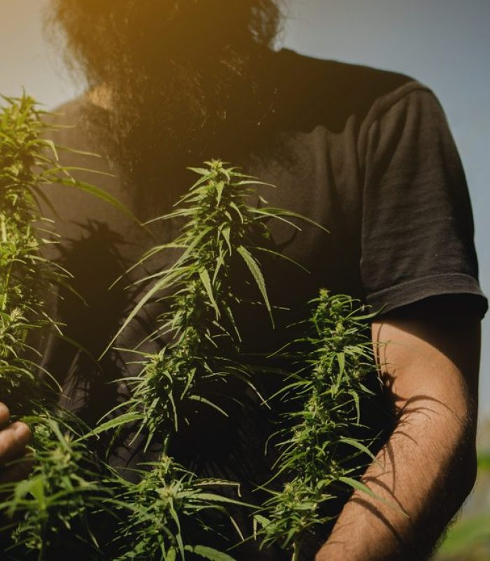 No-Till Cannabis For Big Buds And Rich Soil