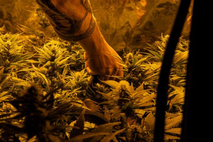 person touching cannabis plants possibly wiht high thc levels
