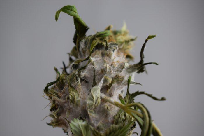 bad moldier weed