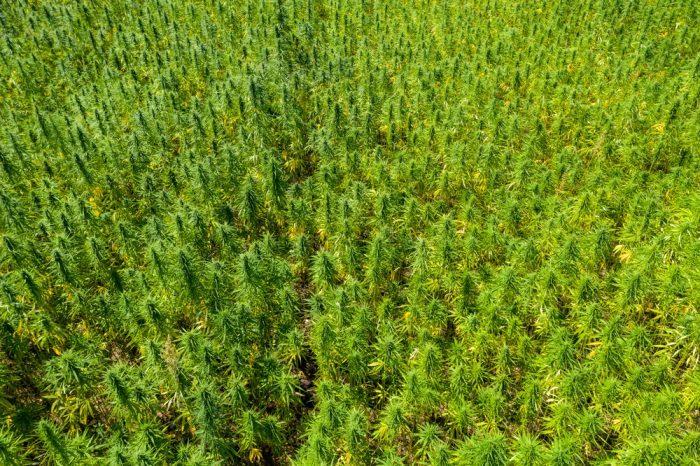 hemp for cbd farming