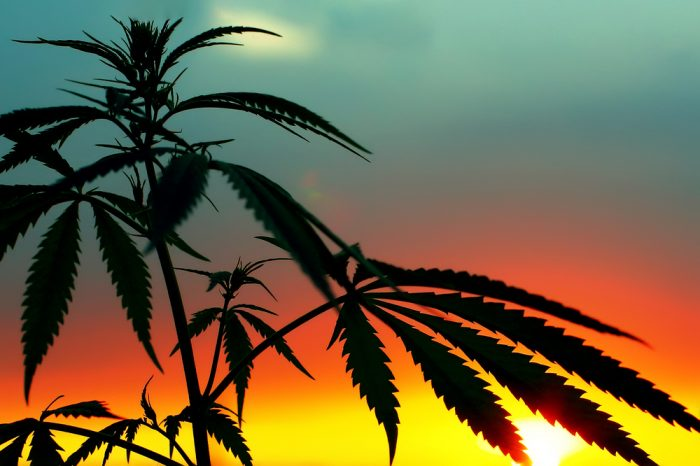 sunset behind cannabis plant