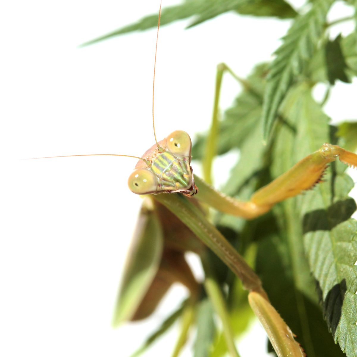 organic pesticide pf praying mantis sitting on cannabis leaf