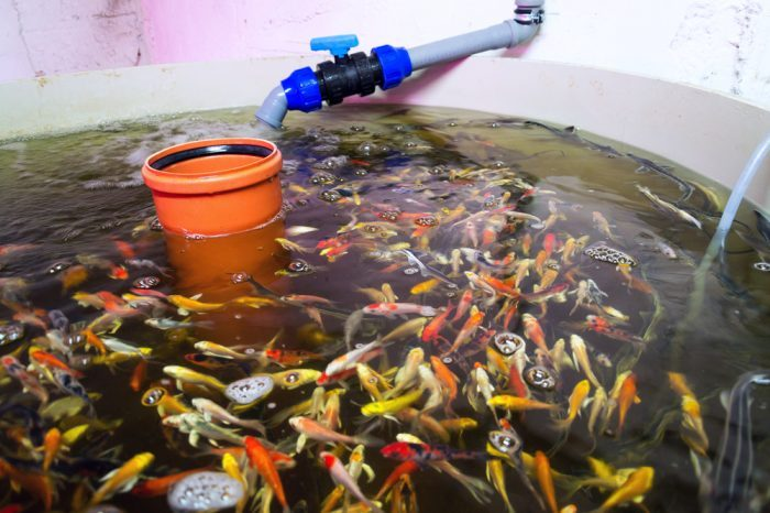 aquaponics fish in their tank