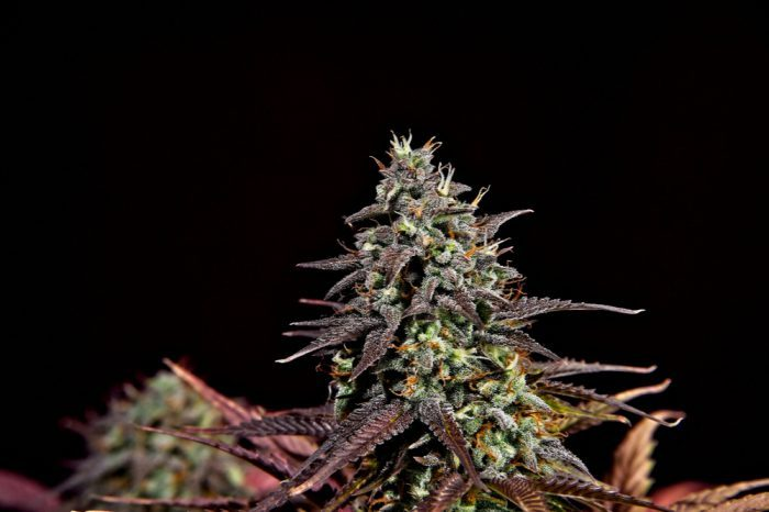 THCa vs THC represented by fresh cannabis
