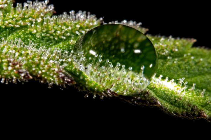 trichomes under ball of water