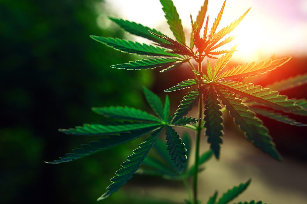 histamine intolerance could be helped by cannabis like this growing in front of a sunrise