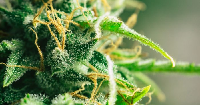 These are the Top Liked Cannabis Strains for 2019