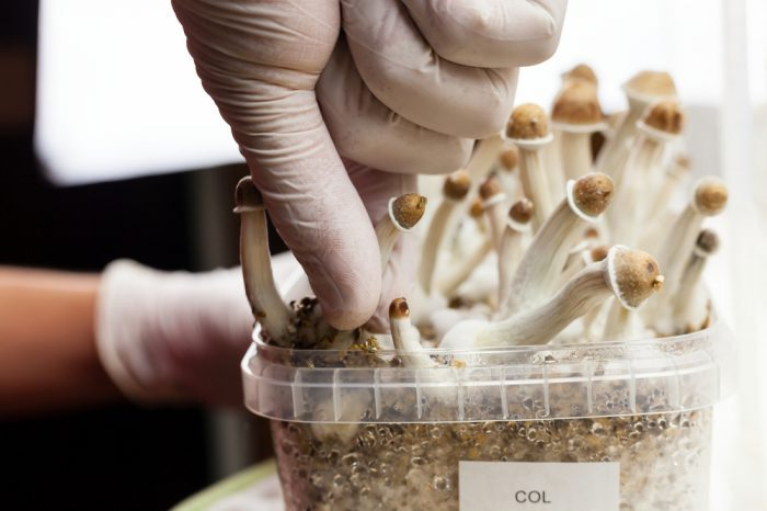 types of mushrooms like this one held by a gloved handwill soon be in medicinal use