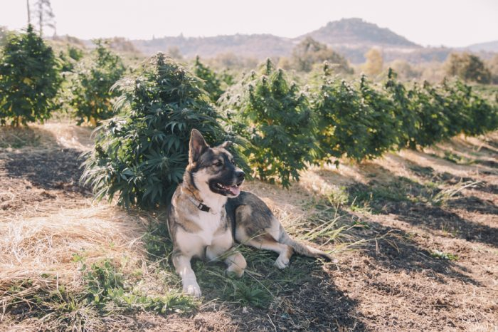Cats, dogs (liek this one in a cannabis field), and many other animals have something in common with their owners: an endocannabinoid system.