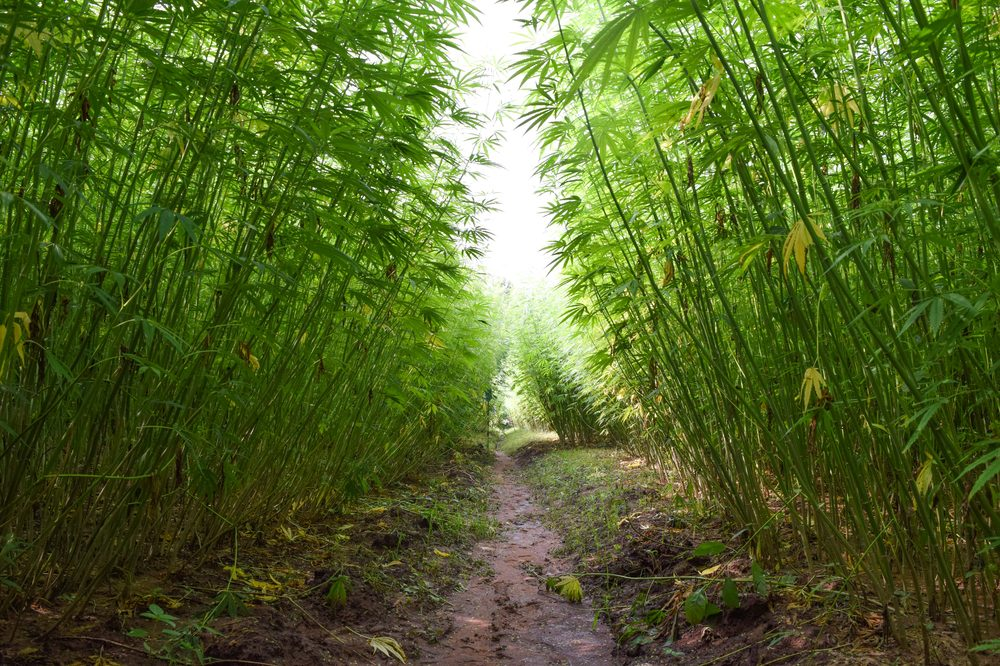 What is Phytoremediation represented by path through hemp field