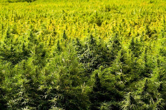 amish farmers hemp growing in a field