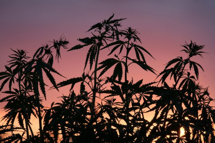 cannabis ruderalis growing by sunset or dawn