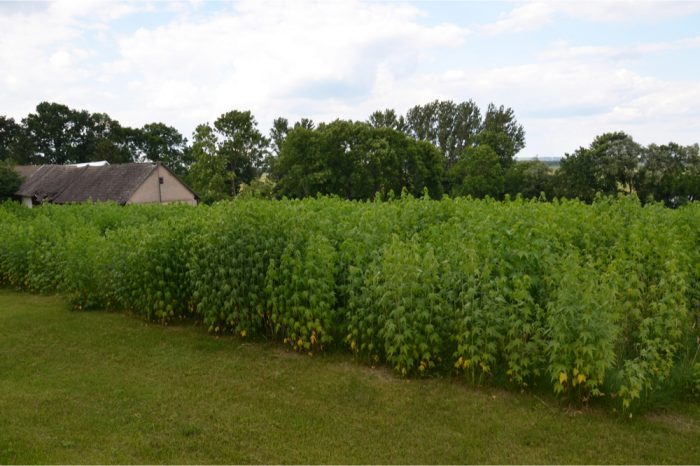 craft cannabis plants on a farm