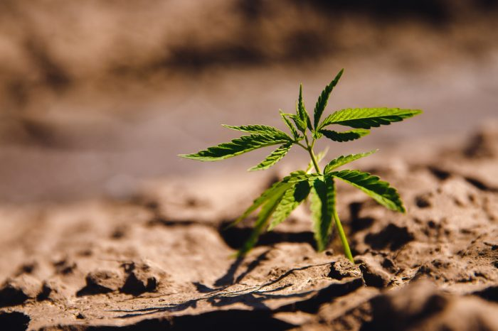 dry farming underway shwn by dry soil around different cannabis plant