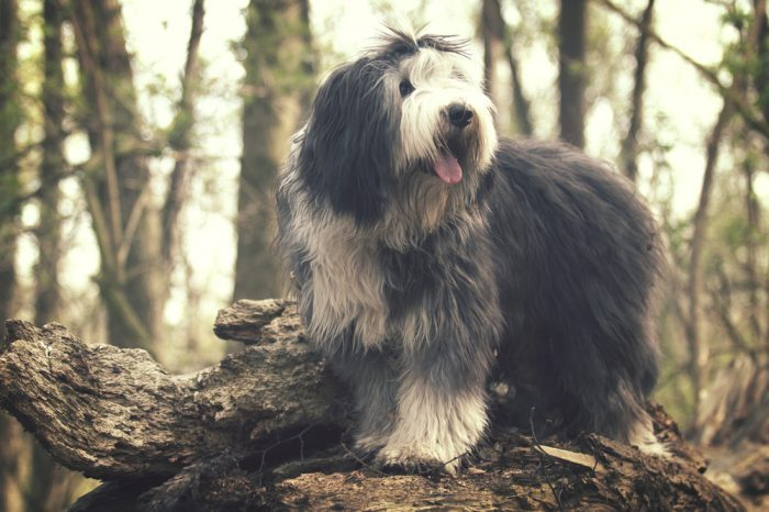 HOW TO CALM AN ANXIOUS DOG pictured as a happy dog runs in the woods